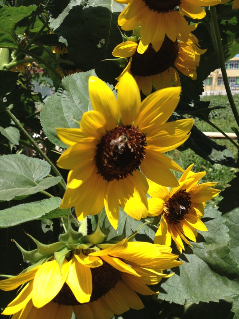 Platanias Vacation- Walk around Platanias area: Sunflower Blossoms- Yasmyr Villas